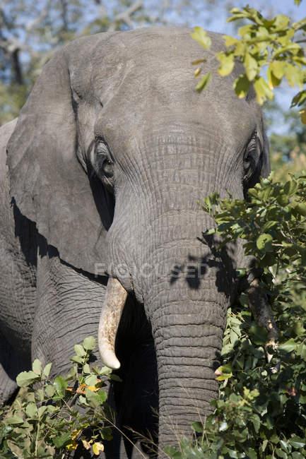 Bella alimentazione elefante a natura selvaggia — Foto stock