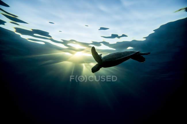 Tortuga nadando bajo el agua en los rayos del sol - foto de stock