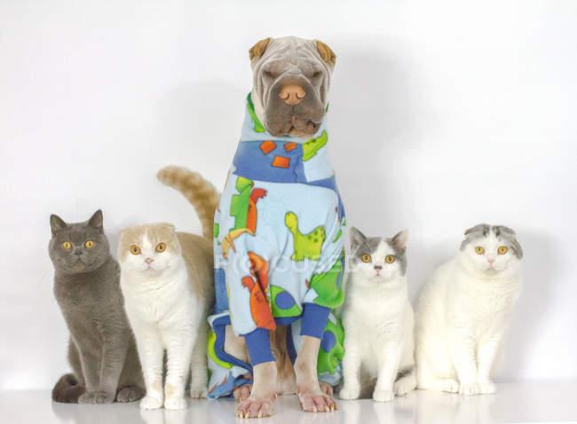 Ritratto di simpatico cane shar pei e gatti seduti insieme su sfondo bianco — Foto stock