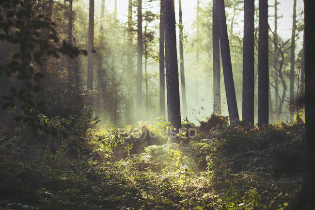Sunbeam lighting a path of underbrush in forest — Stock Photo