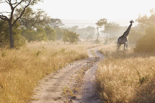 Jirafa divertida en los arbustos, Sudáfrica - foto de stock