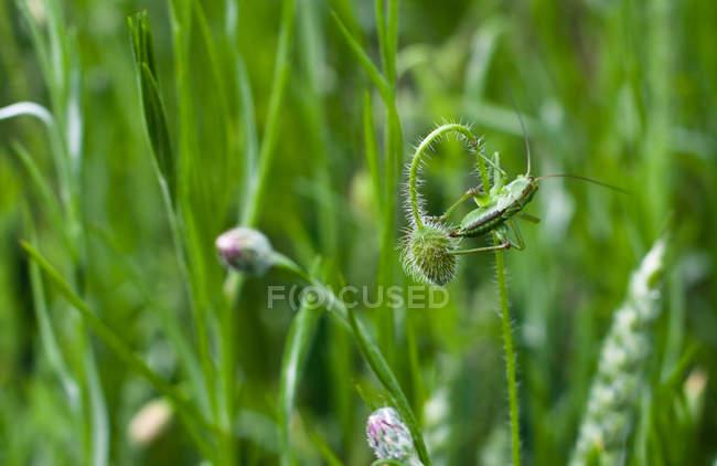 Закри зелений крикет сидить на квітці — стокове фото