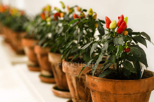 Chilly peppers growing in pots, closeup — Stock Photo