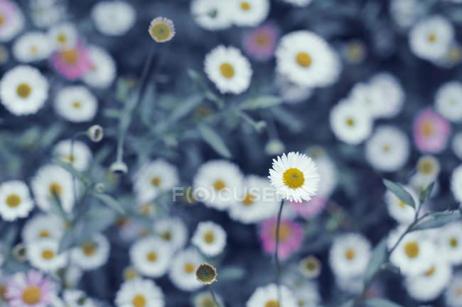 Close-up of blooming wildflowers growing on meadow — стоковое фото