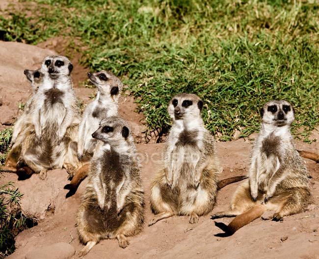 Six suricates assis sur le sable dans la nature — Photo de stock