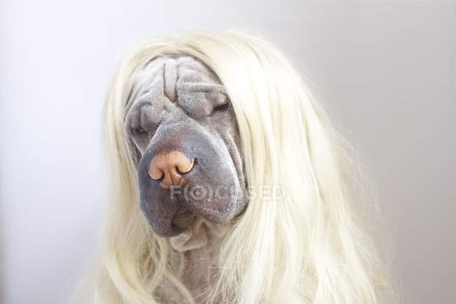 Close-up Portrait of a Shar pei dog wearing long blonde wig — Stock Photo