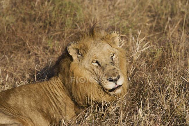 Leão descansando em grama longa, África do Sul, Limpopo, Kruger National Park — Fotografia de Stock
