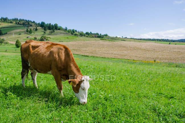 Herrliche Sicht auf die Kuh Weiden im Feld — Stockfoto