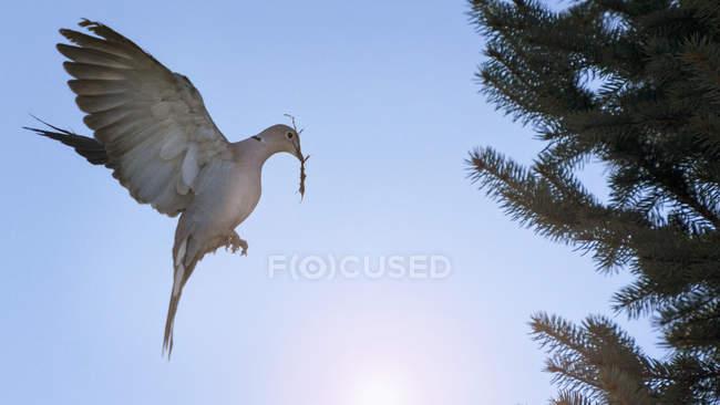 Літати голуб птах з twig дзьобом — стокове фото