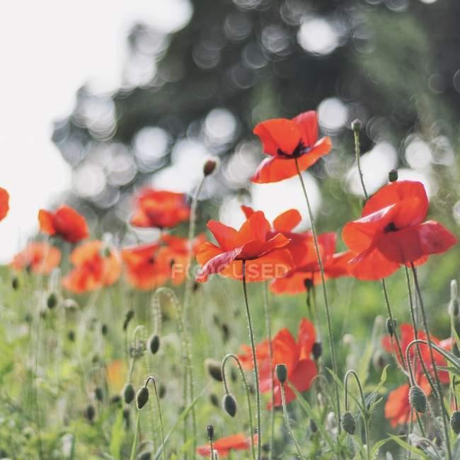 Gros plan sur la floraison des coquelicots rouges sauvages sur le terrain — Photo de stock