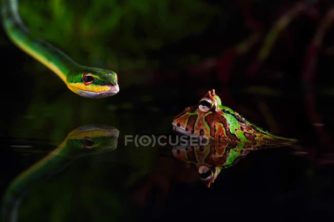 Закри змії полювання жаба в озеро — стокове фото