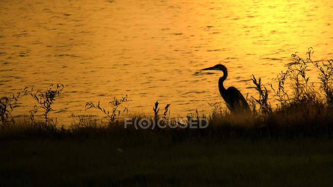Silueta de Garza pájaro sentado al atardecer en la naturaleza salvaje - foto de stock