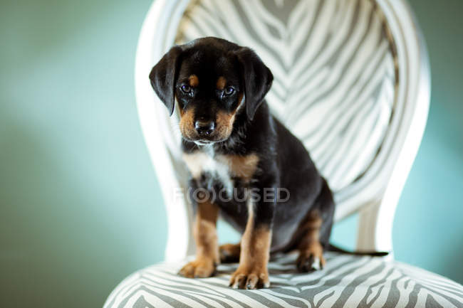 Cute puppy dog sitting on chair — Stock Photo