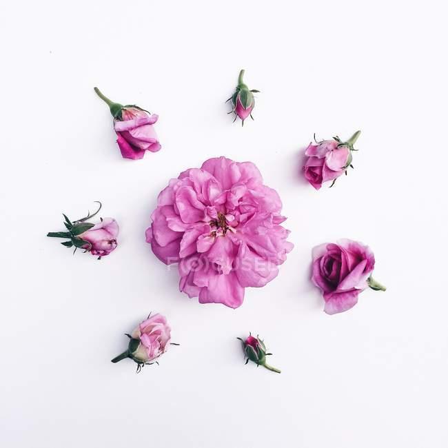 Os botões de rosa em círculo à volta da cabeça rosa — Fotografia de Stock