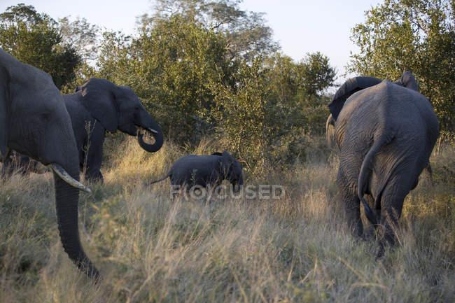Gruppe majestätischer Elefanten in wilder Natur — Stockfoto
