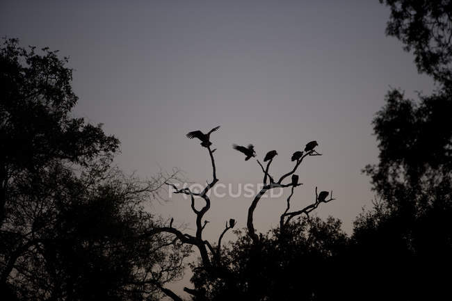 Silhouette of birds sitting on tree against grey sky — Stock Photo
