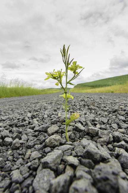 Closeup view of mighty plant on gravel — Stock Photo