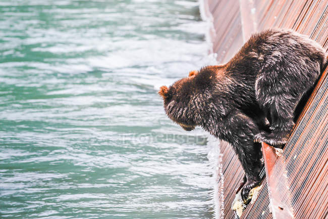 Oso marrón va a saltar al agua de la pared - foto de stock