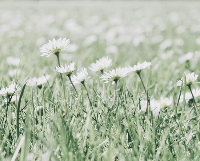 Выращивания ромашки цветы крупным планом — стоковое фото