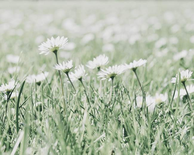 Close-up of growing blooming daisies flowers — Stock Photo