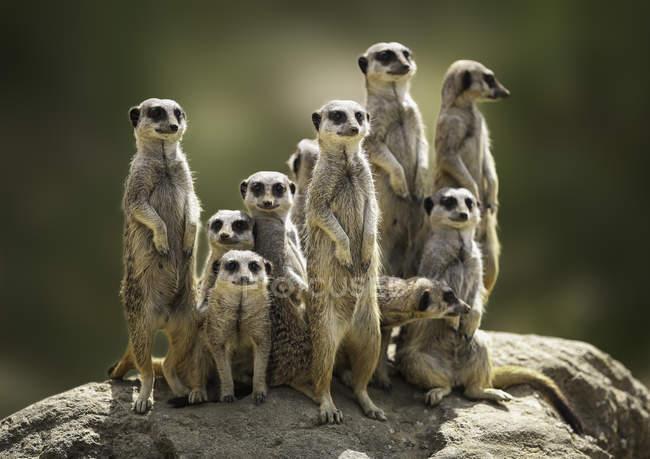 Nahaufnahme von niedlichen Erdmännchen Familie auf der Suche — Stockfoto