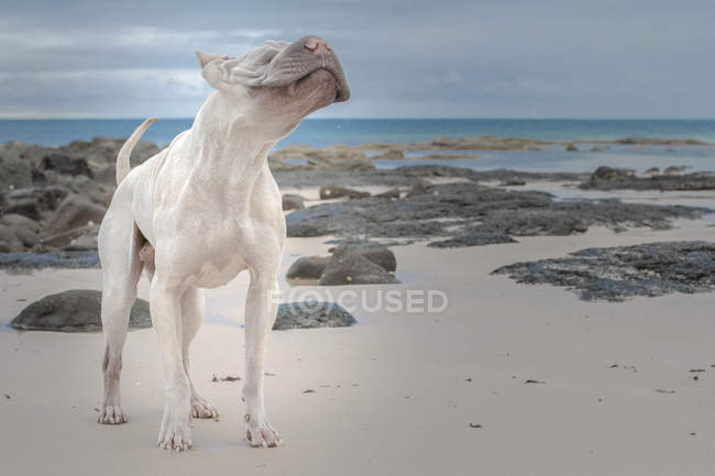 Hairless Shair pei dog standing on beach — Stock Photo