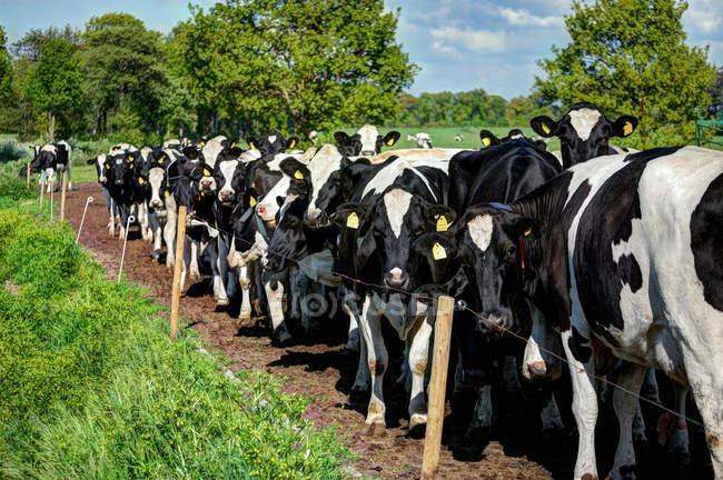 Германия, Восточная Фризия, Группа черно-белых фризских коров Гольштейна за забором, смотрящих в камеру — стоковое фото