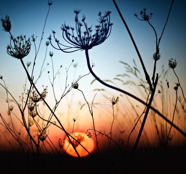 Closeup view of magic silhouette grass at sunset — Stock Photo