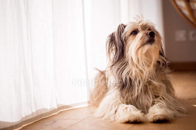 Домашня собака лежить на підлозі будинку — стокове фото