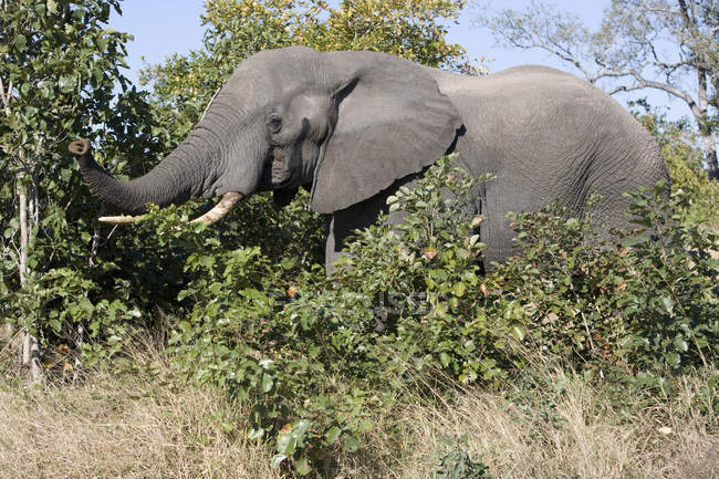Grand éléphant gris s'alimentant à la nature sauvage — Photo de stock