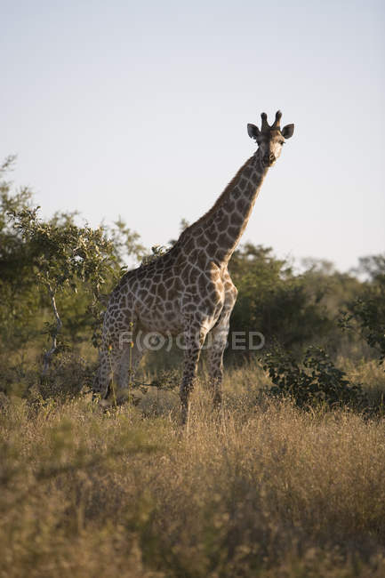 Beautiful Wild Giraffe in Safari, South Africa, Kruger National Park — Stock Photo
