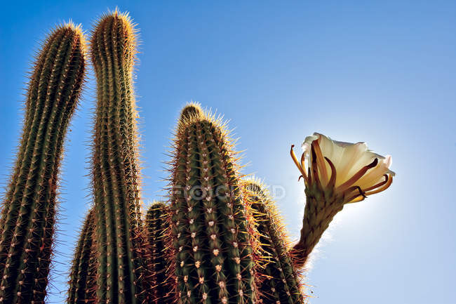 Upward view of cactus known as Golden Torch — Stock Photo