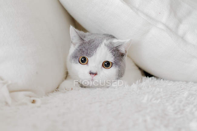 Cute fluffy cat hiding in pillows — Stock Photo
