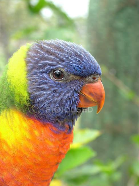 Gros plan de tête de perruche colorée sur fond flou — Photo de stock