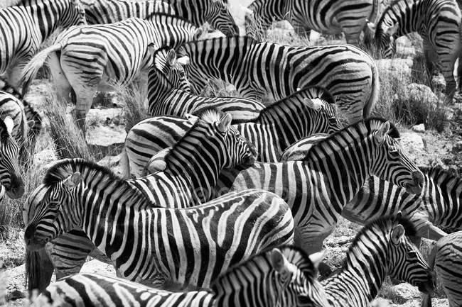 Herd of Zebras on prairie, Namibia, Oshikoto Region, Omuthiya, Etosha-Pfanne — Stock Photo