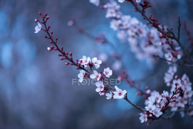 Primer plano de la floración de invierno de Blackthorn árbol - foto de stock