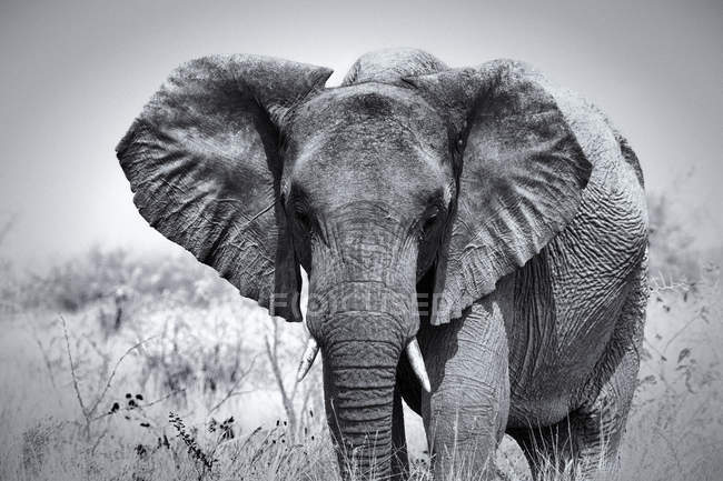 Portrait of African elephant in savannah, Namibia, Etosha National Park — Stock Photo