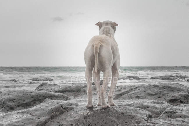 Back view of Shar-pei dog standing on beach — Stock Photo
