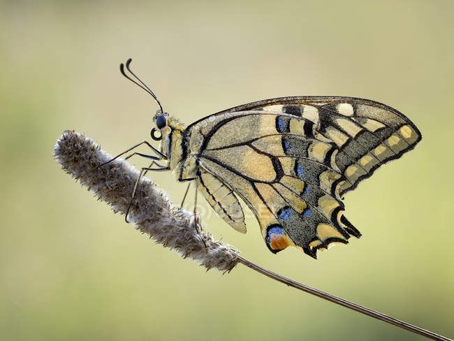 Makroaufnahme von Machaon Schmetterling vor verschwommenen Hintergrund — Stockfoto