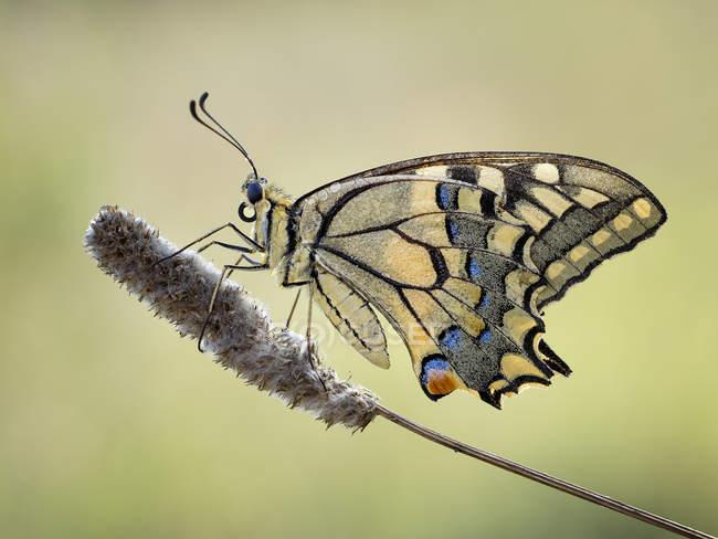 Макрос постріл Махаон метелик проти розмитість фону — стокове фото