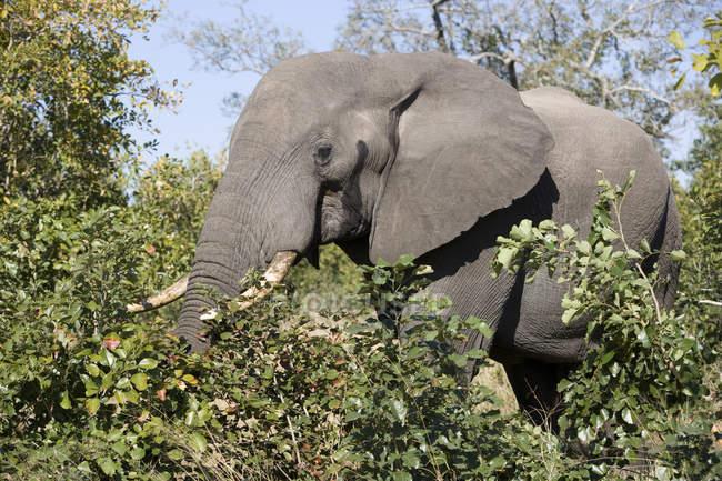 Красивый слон кормления в дикой природе — стоковое фото