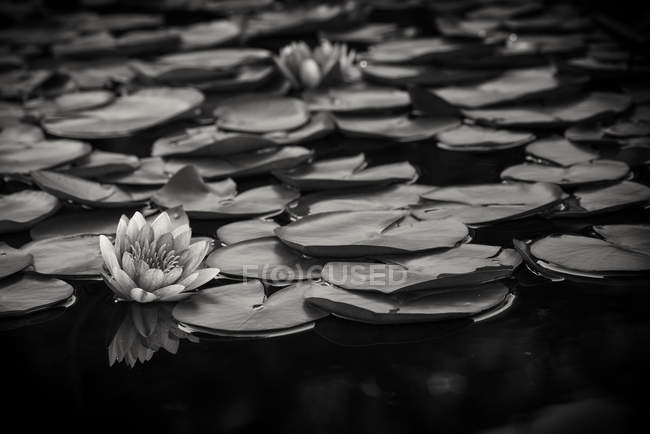 Monochrome image of lily pads on water — Stock Photo