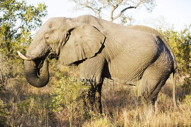 Красиві слон годування на дикої природи — стокове фото