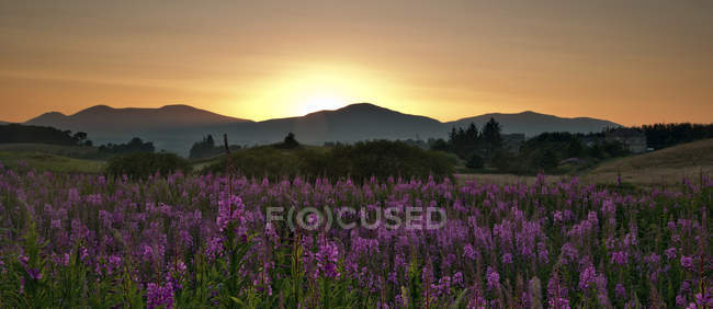 Sonnenuntergang über Gebirge mit lila Wildblumen im Vordergrund, Pentland Hills, Penicuik, Midlothian, Scotland, Uk — Stockfoto