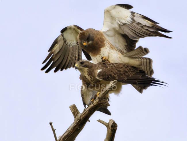 Accoppiamento selvaggi falchi contro il cielo blu, Stati Uniti d'America, Colorado — Foto stock