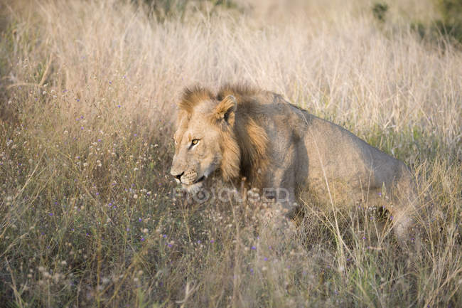 Beautiful lion standing in grass at wild nature — Stock Photo