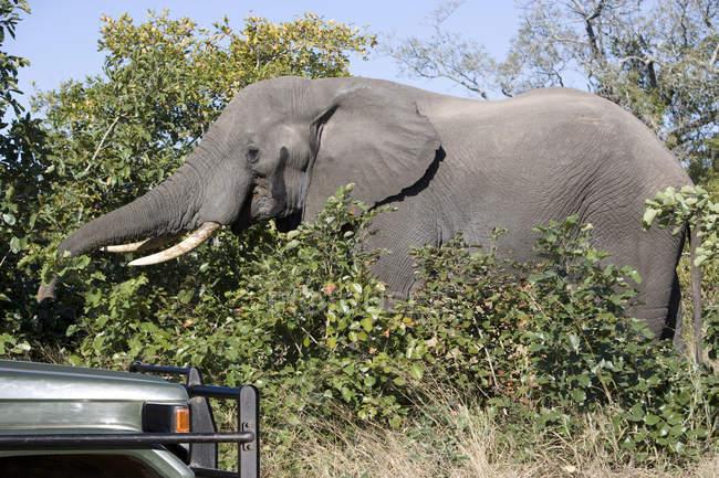 Elefante hermosa alimentación cerca de coche en la naturaleza salvaje - foto de stock