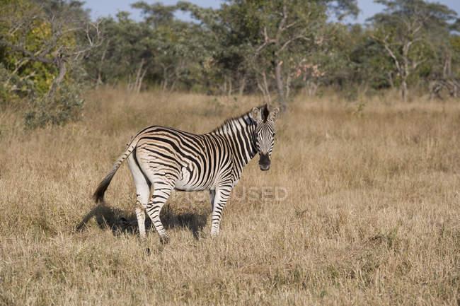 Вид сбоку дикой Африканской зебры, стоя в траве и глядя на камеру — стоковое фото