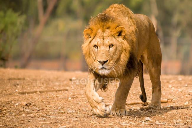 Vue majestueuse sur le lion marchant dans la nature sauvage — Photo de stock