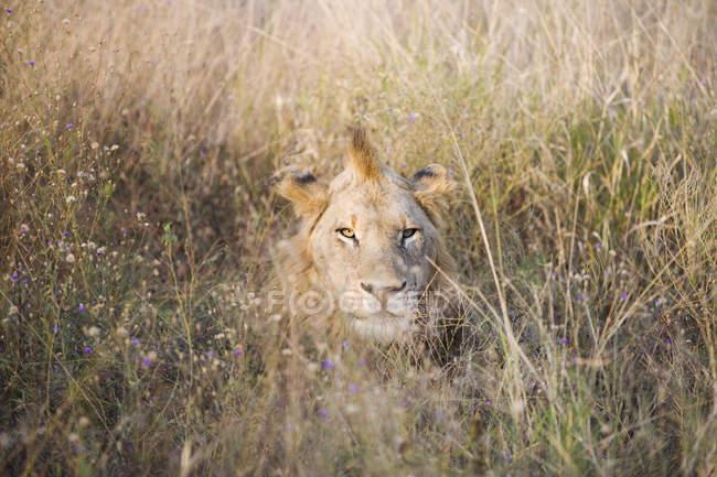 Величественный дикий лев лежал в траве и, глядя на камеру — стоковое фото